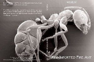 Explore Red Imported Fire Ants